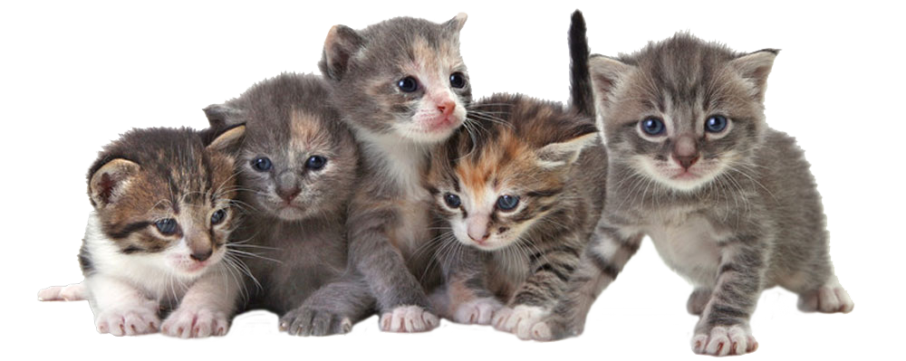 cats health   adult cats kittens feeding your cat